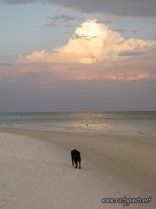 Black lab chasing a Great Blue Heron on Pensacola Beach