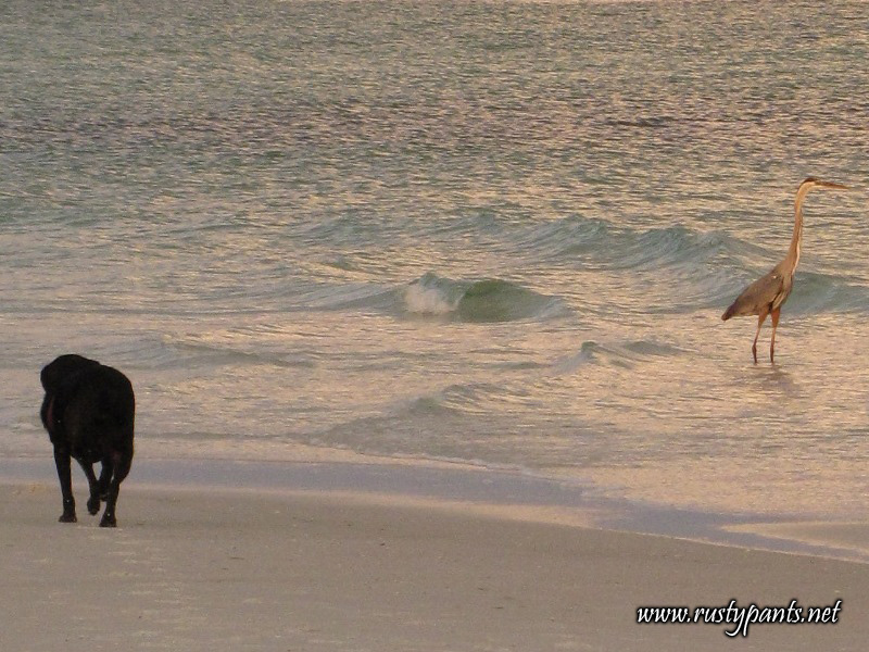 Dolby making his way to the Great Blue Heron on Pensacola Beach