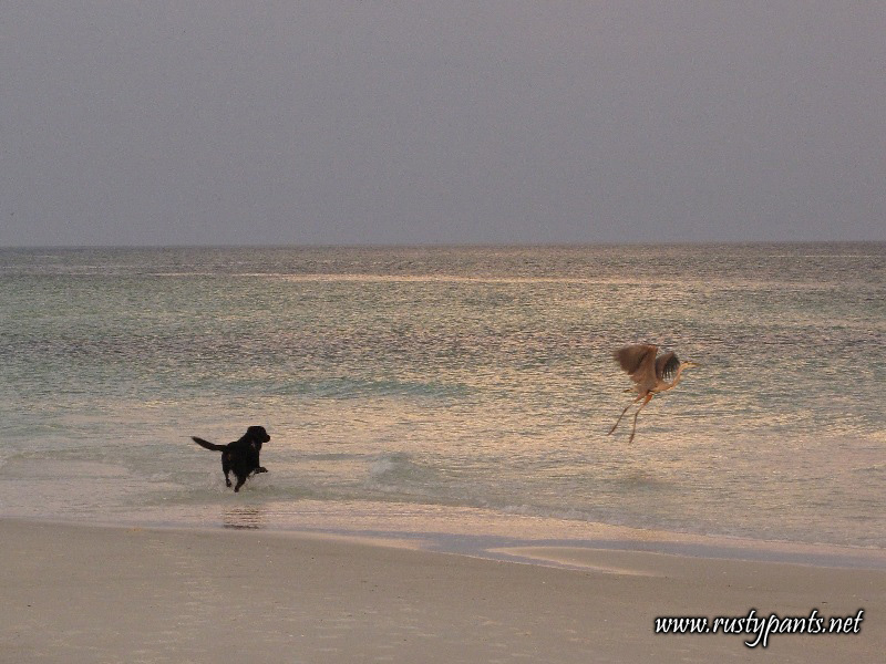 Great Blue Heron in flight after shaming my Black Lab on Pensacola Beach